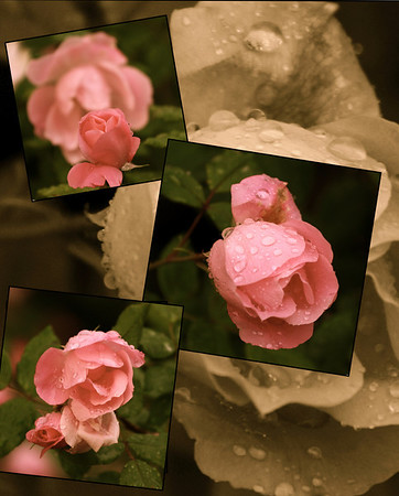 """Roses in the rain""    ""Avoid being impatient. Remember time brings roses.""  ~Anonymous~"
